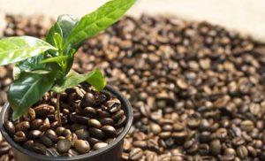 Дальнейшая история кофейных деревьев